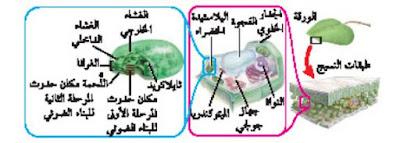 البناء الضوئي داخل البلاستيدات الخضراء