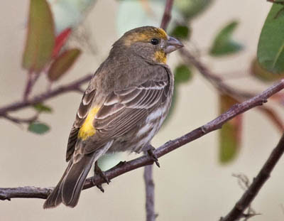 Photo of a yellow House Finch in a bush