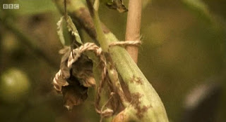 Tomato plant with blight