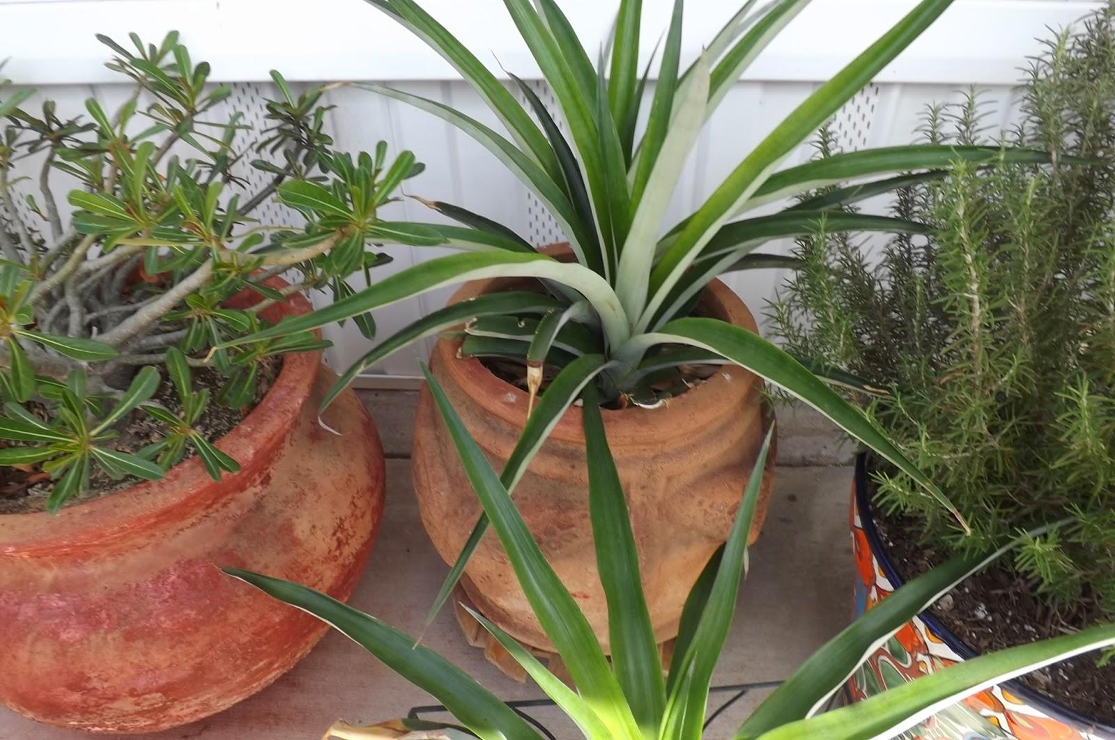 Donnas Ramblings At Rve Ornamental Pineapple Plants