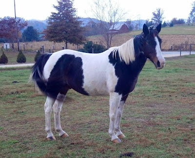 black and white horse in the field
