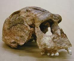 Ciri Pithecanthropus Erectus