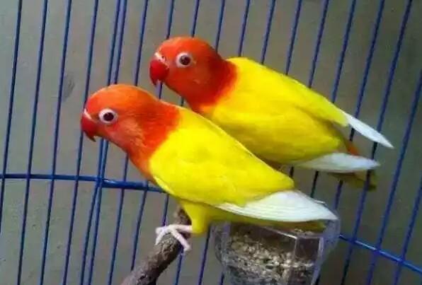 Cara Merawat Lovebird Lutino Yang Baik Dan Benar Sukses Perawatan