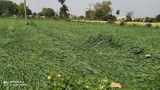 आंधी बारिश से हुआ किसानों का नुकसान