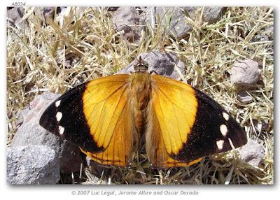 Mariposa tronquera (Smyrna blomfildia)