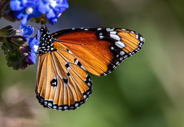 African Monarch Butterfly at Kirstenbosch National Botanical Garden