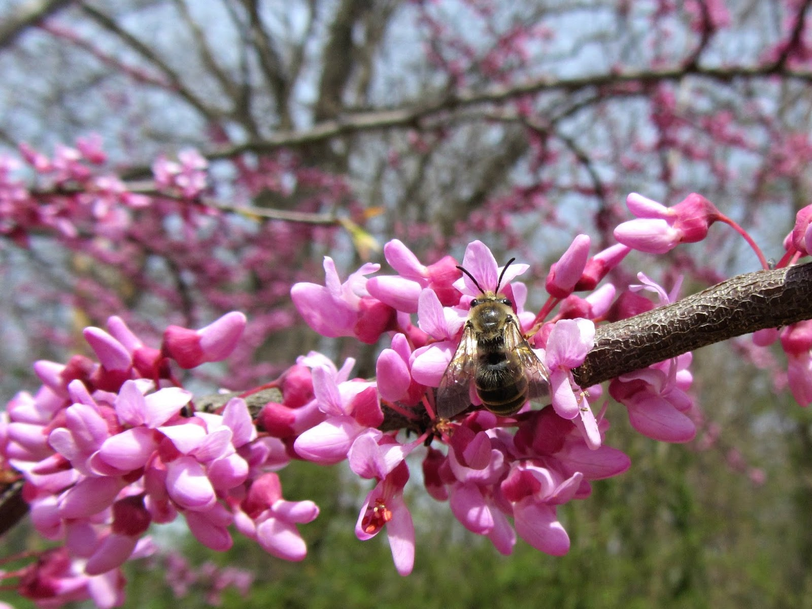 Using georgia native plants redbud peas on a tree popular with bees mightylinksfo