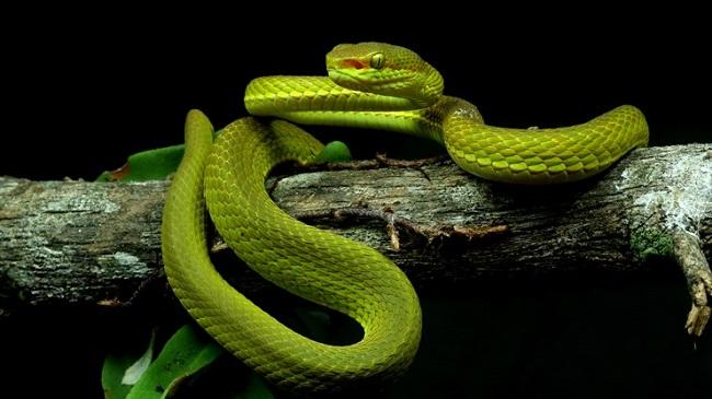 Trimeresurus Salazar/Reprodução