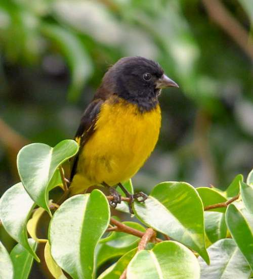 Bird World - Image of Yellow-bellied siskin - Spinus xanthogastrus