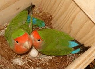 lovebird menyembunyikan telur