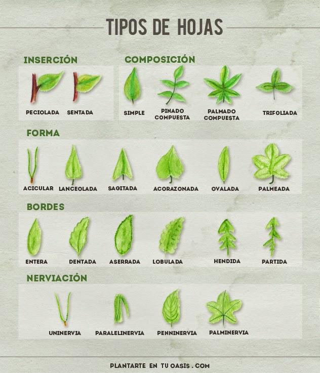 Informaciones agronomicas tipos de hojas de las plantas for Hojas ornamentales con sus nombres