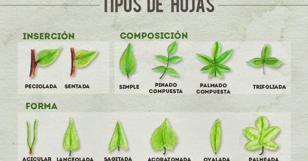 INFORMACIONES AGRONOMICAS Tipos de hojas de las plantas