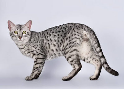 Jenis Kucing Egyptian Mau