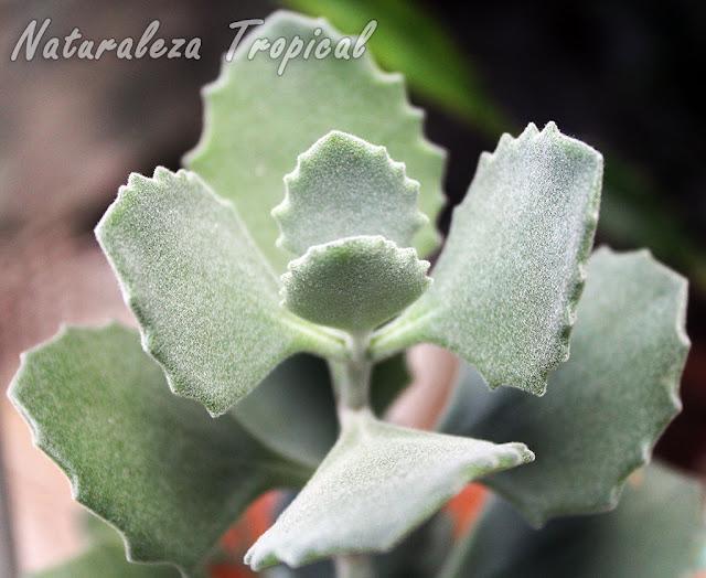 Detalle de las hojas de la planta Kalanchoe millotii