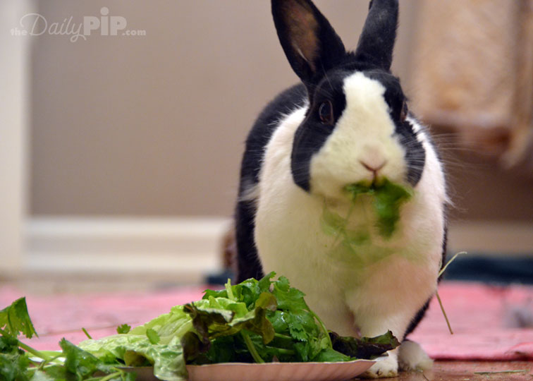 Rabbit diet should consist of greens and hay