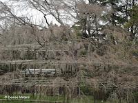 Heavily-treillised tree - Kyoto Botanical Gardens, Japan