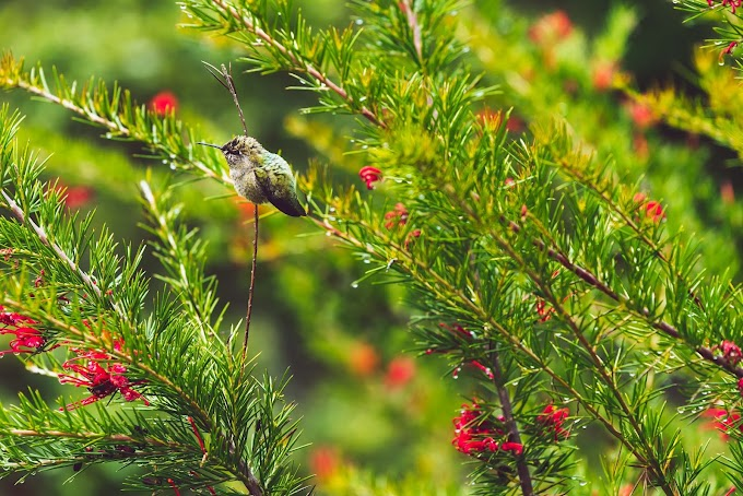 Breves apuntes sobre los colibríes