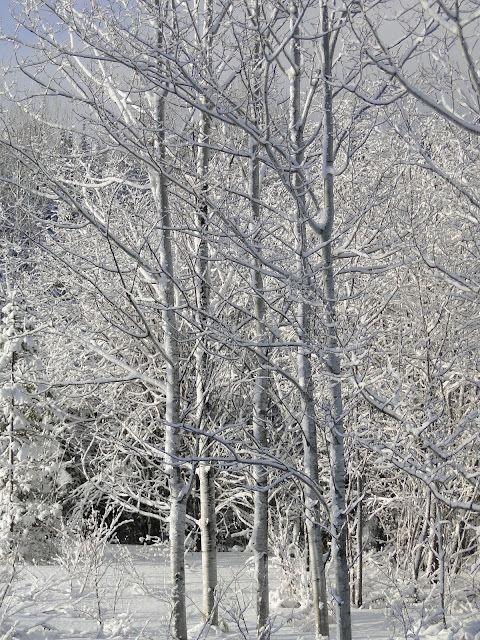 snowy birch trees in Thunder Bay, The Camellia