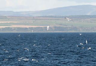 Gannets Diving in the Firth of Clyde