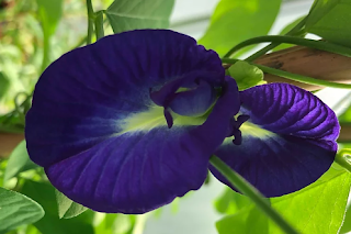 Ternatea (Blue Butterfly Pea Flowers)