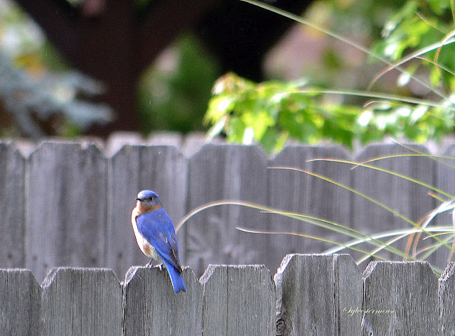 Eastern Bluebird photo by Sylvestermouse