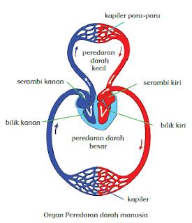 Mari Belajar - Alur Peredaran Darah Manusia