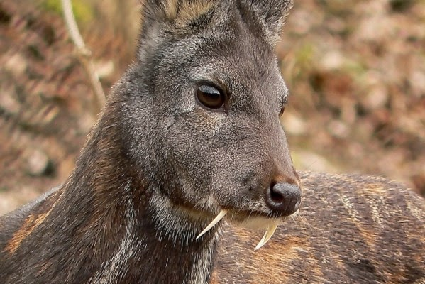 96256cd19 This one caught the headlines early last year as one Kashmir musk deer was  seen in Afghanistan, a full 60 years after last visual as reported in the  October ...