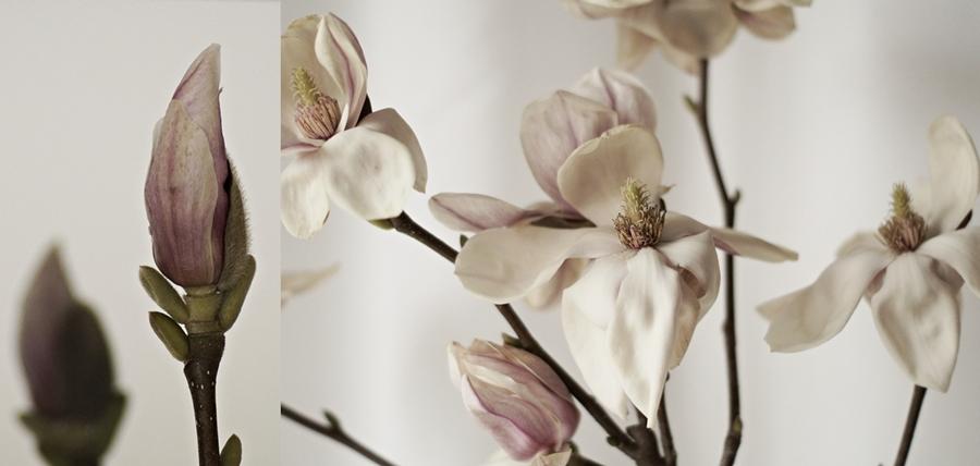 Collage einer blühenden Magnolie und einer Knospe