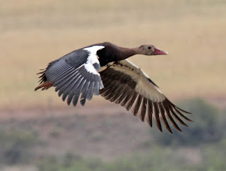 وزه أبو قرن  Spur Winged Goose
