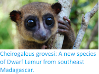 https://sciencythoughts.blogspot.com/2018/03/cheirogaleus-grovesi-new-species-of.html