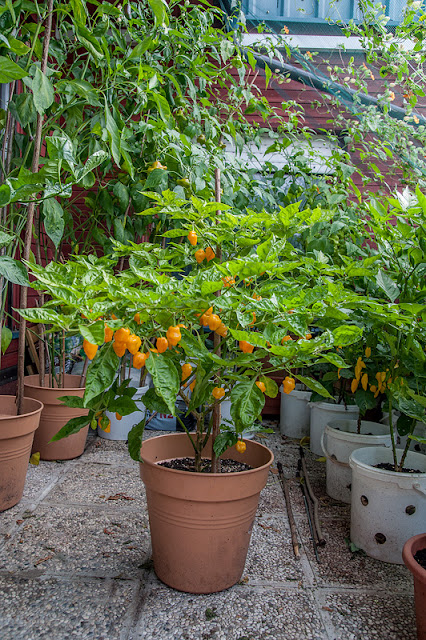 Trinidad Perfume Habanero plant