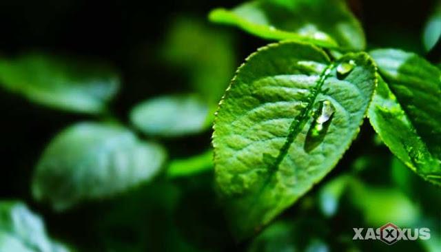 15 Manfaat Daun Binahong Untuk Wajah, Kesehatan, Kecantikan, dan Efek Sampingnya
