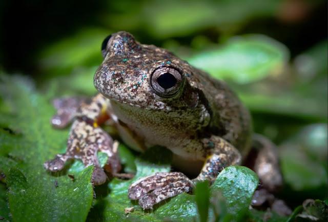 Fase dewasa katak