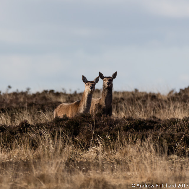 Two hinds looking like llama as they stretch their necks to see something on the moor.