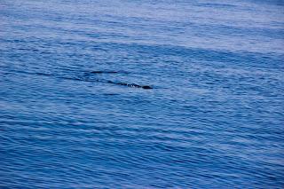 Tiburón estrecho gibraltar