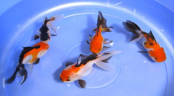 Cara Karantina Ikan Mas Koki Yang Baru Datang