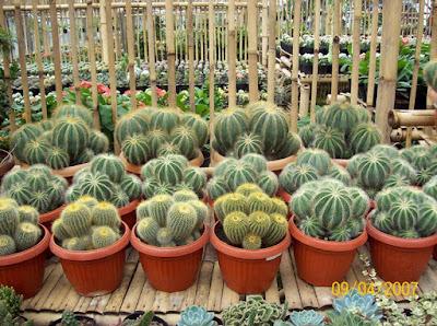 Jasa Tukang taman Surabaya Tanaman hias kaktus sekulen