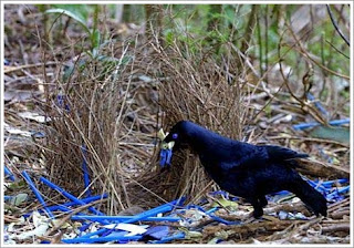 Bowerbirds Facts