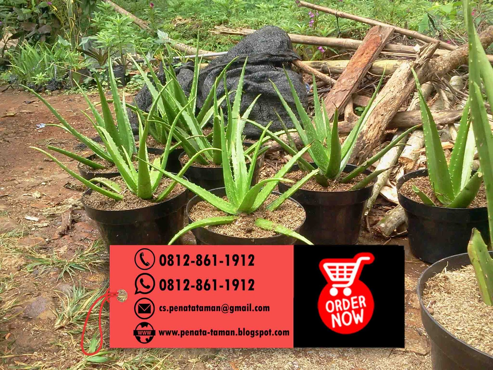 Pohon Lidah Buaya Aloe Vera Untuk Info Harga Dan Pemesanan Silahkan Hubungi