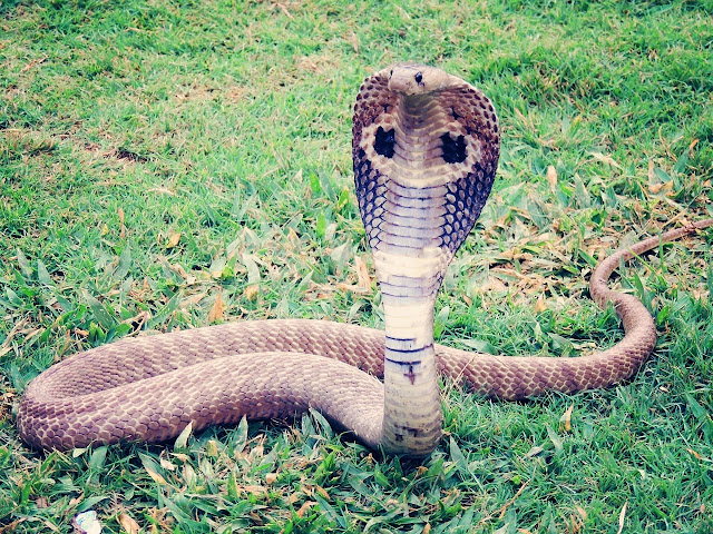 Mimpi Menangkap Ular Kobra