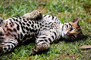 Images of Ocelot Cat and more information about its size, diet, habitat, personality & facts