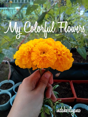 tagetes or marigold