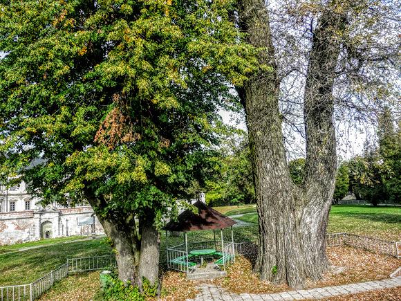 Підгорецький замок. Багатовічні дерева в парку