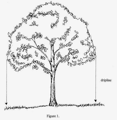 Dripline on mature trees