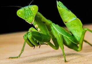 Parasit Cacing dalam Belalang Sembah