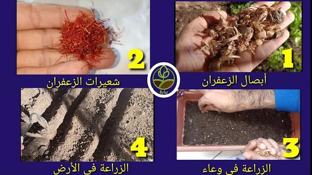 زراعة الزعفران في المنزل
