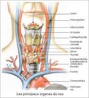 Glande thyroïde : hypothyroïdie, hyperthyroïdie
