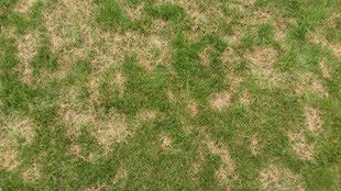 fungicides for lawns, grass fungus treatment baking soda, turf fungicide, organic lawn fungus control, turf fungicides, organic fungicide for lawns, centipede grass fungus, black spots on lawn, black spots in grass, best fungicide for lawn rust, best fungicide for lawns, fungus on grass, fungus treatment for grass, fungicide treatment for lawn, fungus in grass, grass fungus treatments, grass fungus types, yard disease, fungus lawn treatment, lawn fungus, lawn fungicide, grass fungus, fungicide for lawn, lawn fungus treatment, grass fungicide, fungicide for lawns, fungus control for lawns, grass mold, best fungicide, lawn fungus control product,
