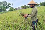 Pemprov Jateng Tebar Kuota Asuransi Padi di 29 Kabupaten