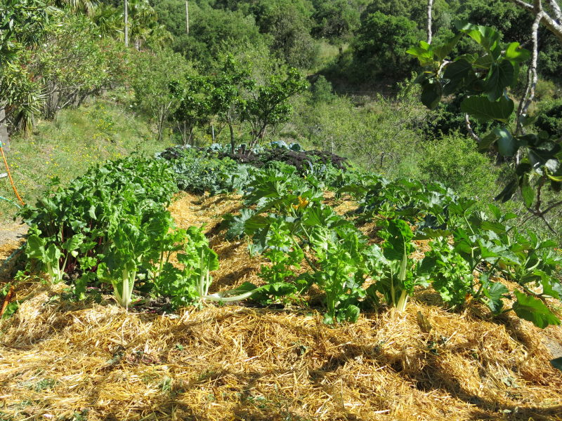 Huerta ecológica con acelgas. Visita Gaucín. AEA Bosque Animado.